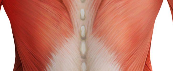 Abbildung zeigt die Fascia thoracolumbalis
